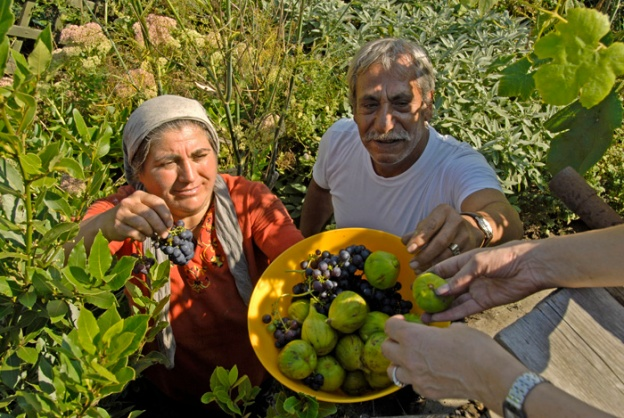 Adile and Hassan harvesting the last figs and grapes from Julie Sumner's garden Aug 2007