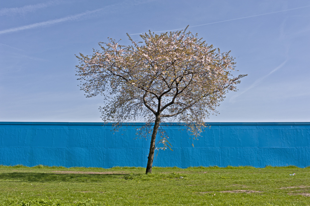 A cherry tree flowers on Hackney East Marsh outside the soil storage site branded in ODA Cerulean Blue. May 2010